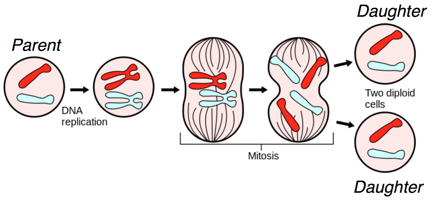 Lecture 2 basics of dna sequencing by synthesis a figure illustrating mitosis borrowed from wikipedia httpenpediawikimitosis pooptronica